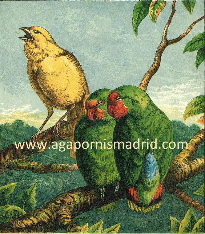 "A. pullarius in ""Household Pets"" 1872 ilust. Harrison Weir."