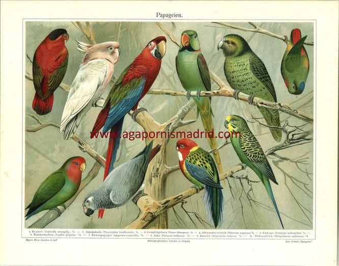 1894 - Papageien (Ilustración que incluye un bonito dibujo de un A. roseicollis.