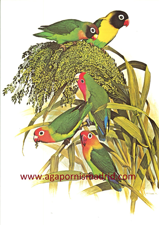 "1970-1989 African Lovebirds in ""Parrots of the World"" ilust. William T. Cooper"