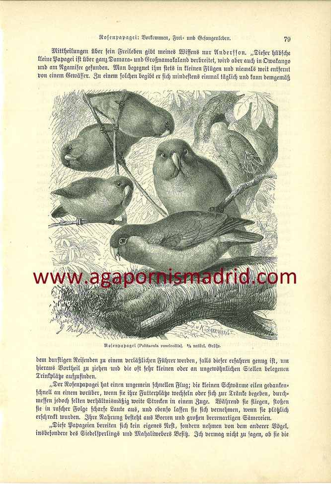 """A. roseicollis en el libro """"Die Vogel"""" de Alfred Edmund Brehm de 1868"""