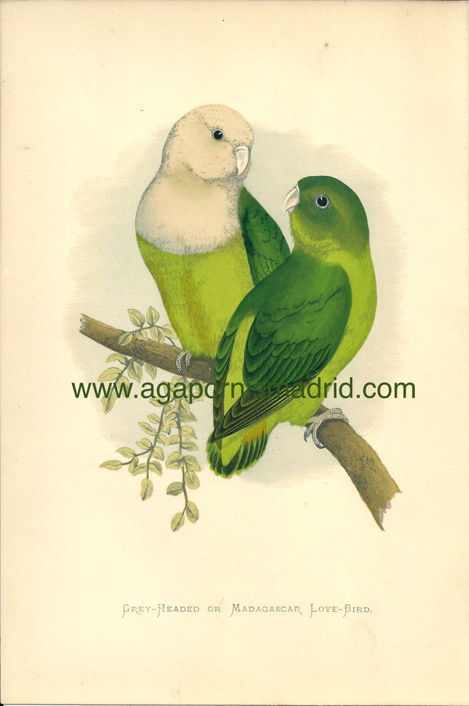 Ilustración de pareja A. canus (Grey-Headed or Madagascar Lovebirds), Parrots in Captivity 1884