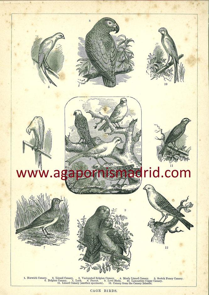 """""""Cage Birds"""" 1886, La figura 9 es una Pareja de Agapornis"""