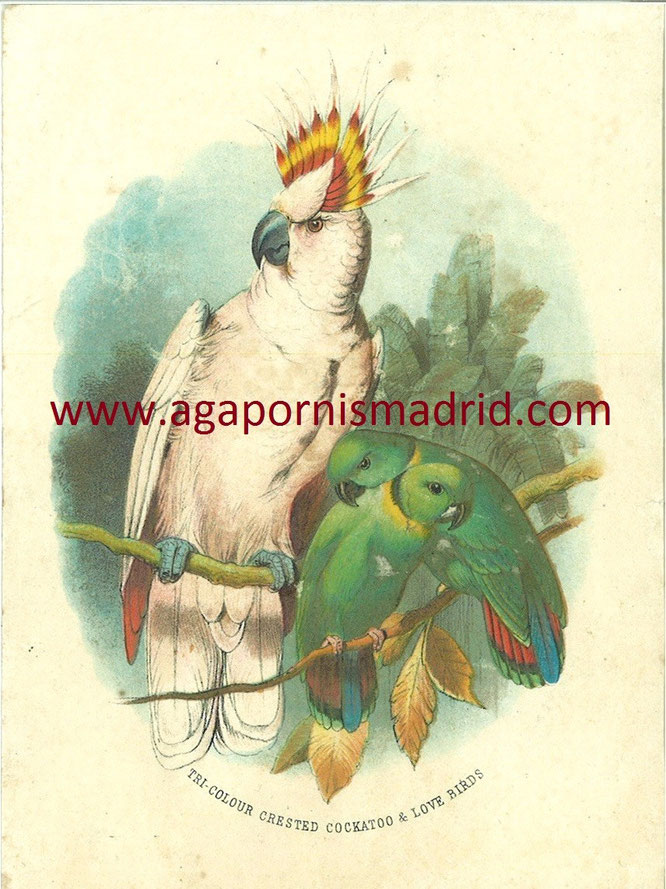Tri-Colour Crested Cockatoo & Love Birds 1872