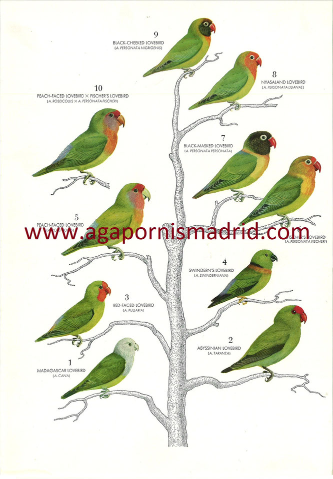 "1962 ""The behavior of Lovebirds"" ilustración con sus 9 especies y un A. híbrido."