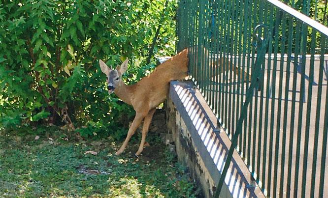Ein junger Rehbock steckte am Sonntag in einem Geländer in Bliesransbach fest.