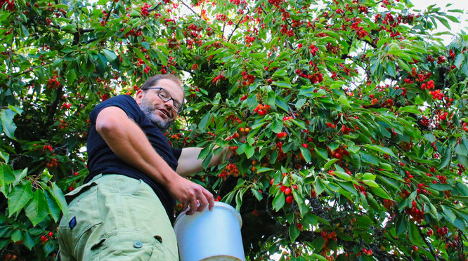 Jörg Jung aus Auersmacher kommt mit dem Ernten und Verschenken von Kirschen in diesem Jahr kaum nach.