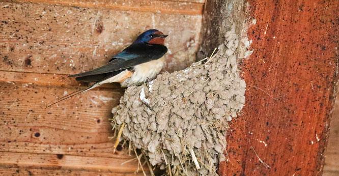 Die Rauchschwalbe baut ihre Nest am liebsten aus Lehm. Durch die Versiegelung vieler Flächen wird ihr Rohstoff allerdings immer knapper.
