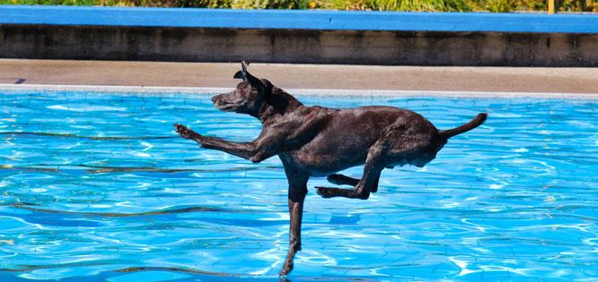 Das Hundeschwimmen im Kleinblittersdorfer Freibad ist zu einer Attraktion geworden.