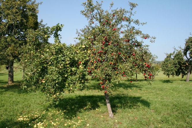 Eine Laune der Natur: Auf der Streuobstwiese in Bliesransbach gibt es Bäume, an denen wachsen roten und grüne Äpfel gleichzeitig.