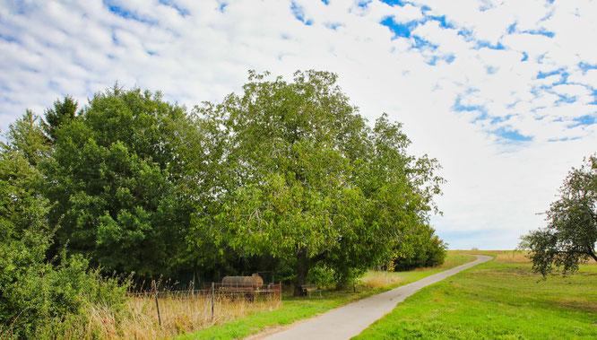 Walnussbaum in Auersmacher.