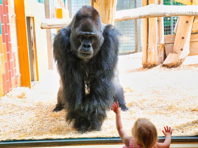Gorilla Ivo im Saarbrücker Zoo.