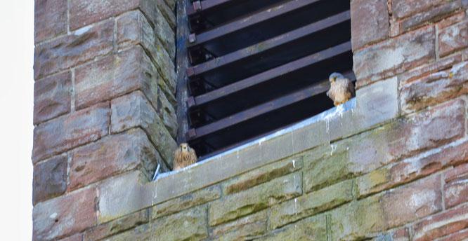 Links das Weibchen und rechts das Männchen (Zu erkennen am grauen Kopf).