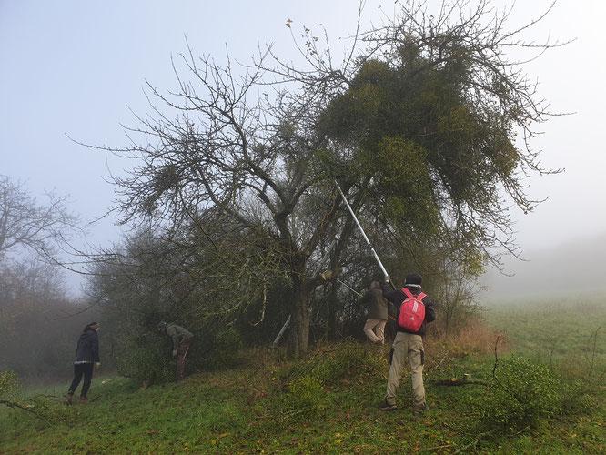 Ein Baum mit Misteln vor dem Beschneiden.
