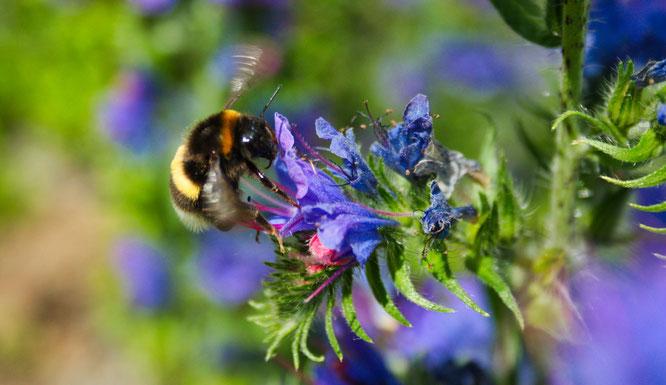 Der Natternkopf ist eine hochwertig Bienenpflanze, zu der auch die Hummeln nicht Nein sagen.