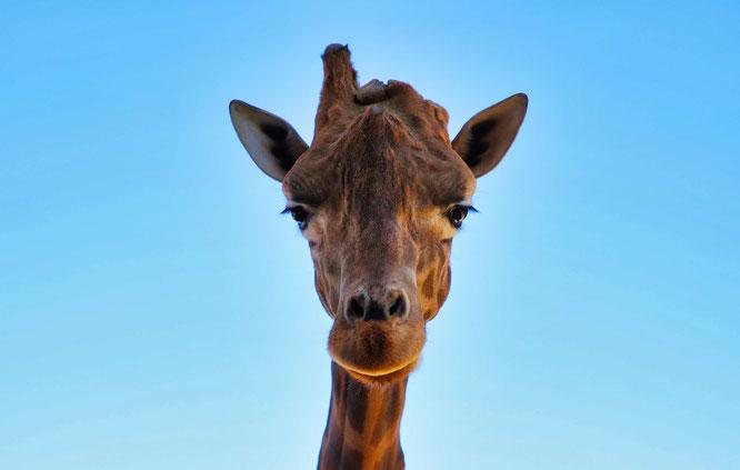 Die Giraffe Yaris im Saarbrücker Zoo.