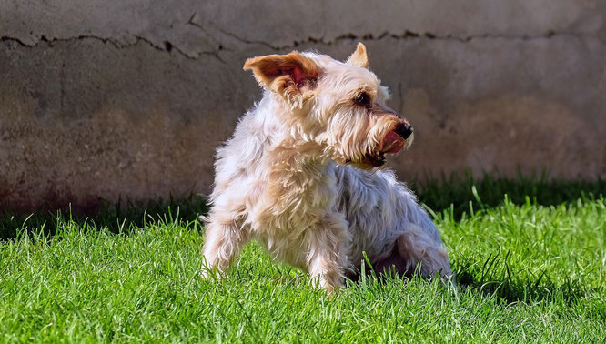 Symbolfoto. Yorkshire Terrier.