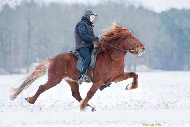Unser Deckhengst Tengri vom Hölterhof im Winter 2013 - Reiter Holmgeir Jonsson