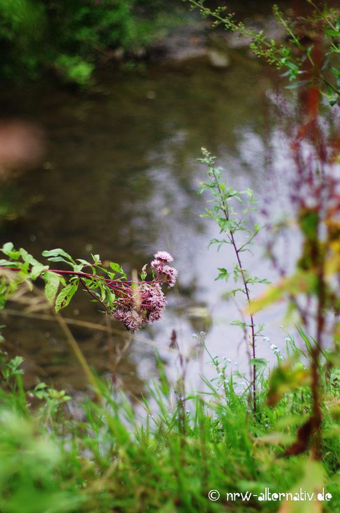 Blumen und Gräser am Rande des Flüsschens Rosenau.