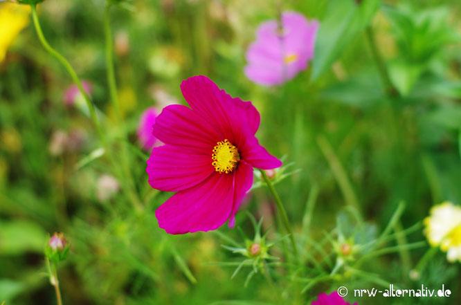 Bild einer Blume, die pink ist und in Bad Sassendorf steht.