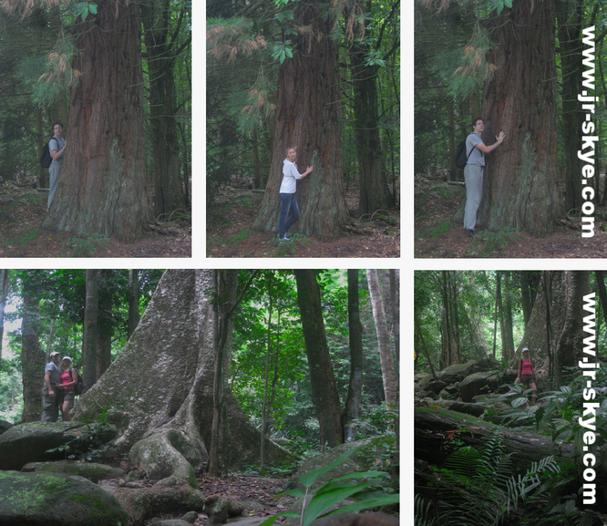 """""""Majestic #redwoods - took a 15 miles #run through the #trees ROTORUA in 2016 and Montagne d´Ambre Nationalpark, Madagascar (12° 36′ 0″ S, 49° 10′ 0″ O)""""..."""