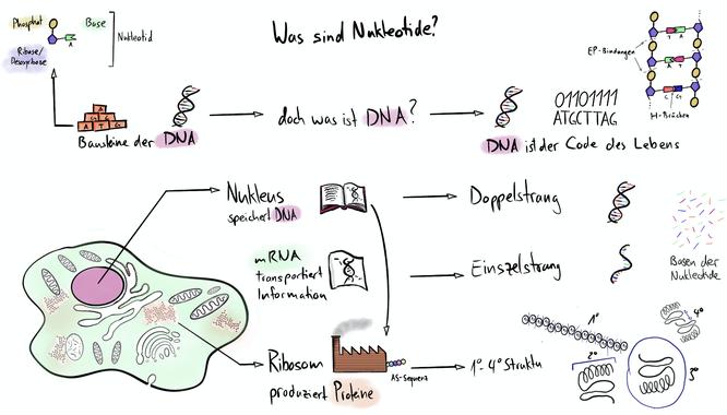 Tafelbild das die Aufgabe und Funktion der Nukleotiden in der DNA der Zelle visualisiert.