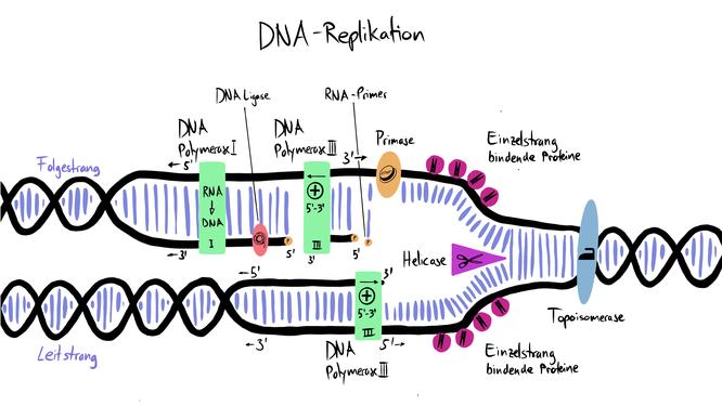 Tafelbild zur Visualisierung der DNA Replikation mit allen beteiligten Enzymen.