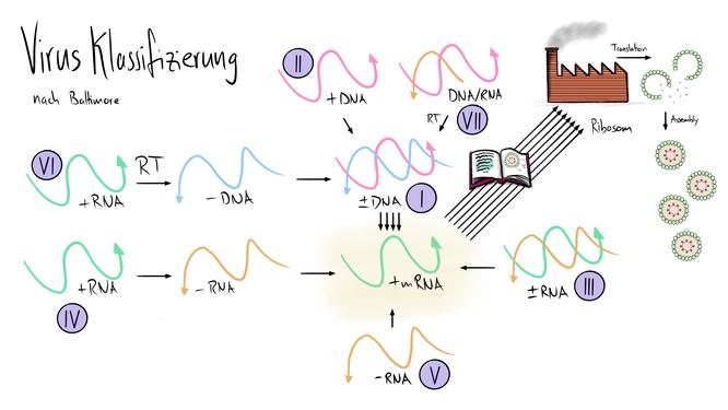 Tafelbild, das die Virusklassifizierung nach Baltimore visualisiert. Dabei wird auf die Reversetranskriptase ebenso eingegangen wie auf das Virus Assembly.