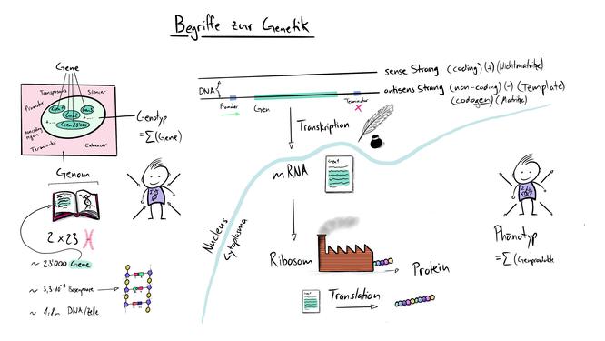 Tafelbild das Begriffe der Molekularen genetik visualisert: translation, transkription, mRNA, Genotyp, Phänotyp, Genom, sens strang, antisens strang