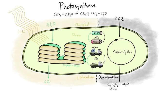 Tafelbild welches die Abläufe der Photosynthese inklusive Lichtreaktion und Dunkelreaktion visualisiert und im Calvin-Zyklus ATP und ADP sowie NAD+ und NADH+H+ visualisiert.