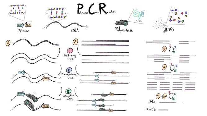 Tafelbild welches die PCR Polymerase Kettenreaktion und ihre Bestandteile Primer, DNA, Polymerase und dNTPs visualisiert