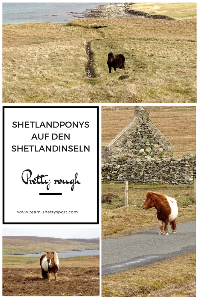 Shetlandpony, Shetlandinseln, artgerechte Haltung