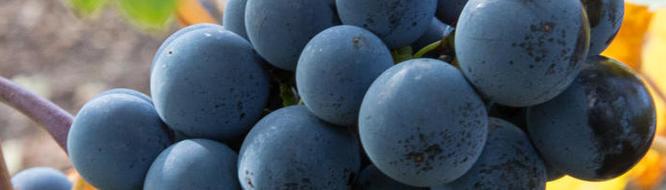 Reife Trauben für authentische Weine - Foto: Claudia Michalopulos