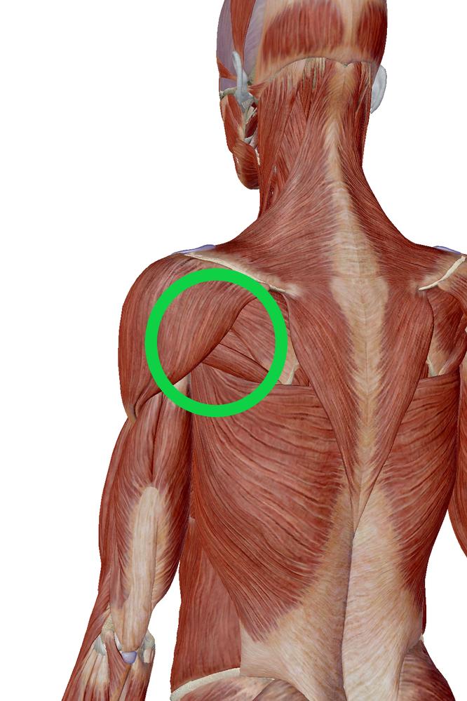肩関節後面組織解剖図