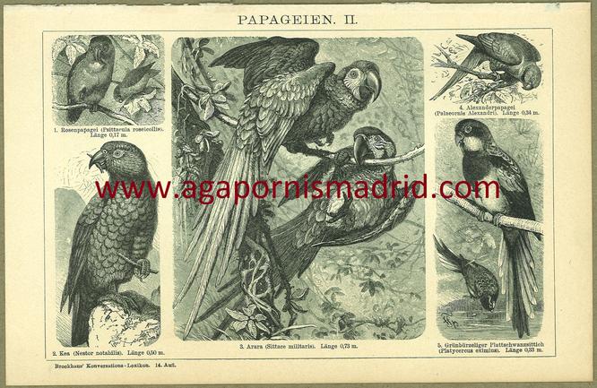 1894 - Papageien II (Ilustración que incluye un bonito dibujo de un A. roseicollis.