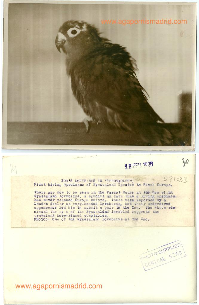 Foto de uno de los primeros A. lilianae a llegar a Europa en 1920