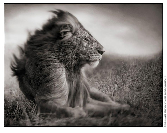 Lion Before Storm II - Sitting Profile, Maasai Mara, 2006 — Nick Brandt