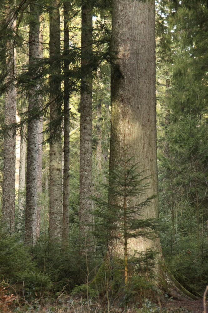 シュヴァルツヴァルトの欧州モミ 持続可能な森林管理