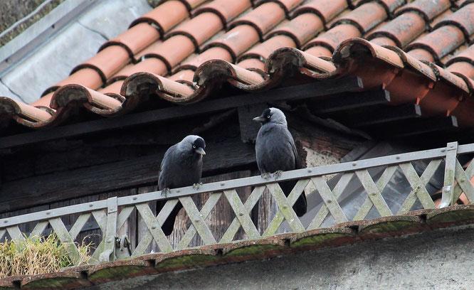 Die Dohle - Vogel des Jahres 2012 und mit ca. 50-70 Exemplaren im Bestand gesichert.