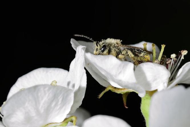 Wildbiene in Kirschblüte     Foto: Josef Taphorn