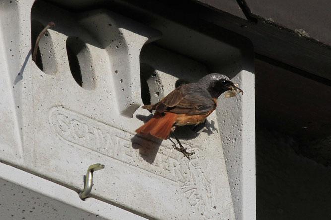 Gartenrotschwanz füttert im Sperlingskasten am Haus