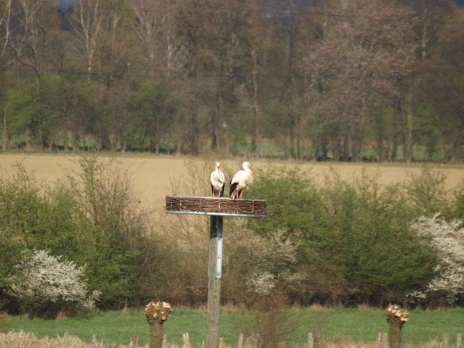 08.04.2012: Storchenpaar auf unserer Nisthilfe in Hagen / Foto: Baesch