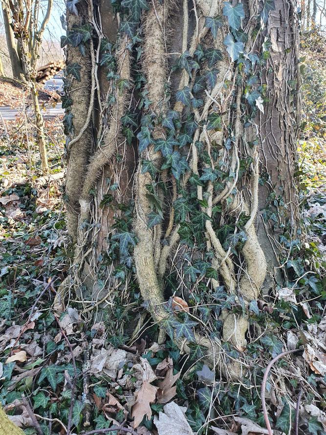 Bild 1 - Efeu bildet einen dichten Bestand an Trieben am Stamm
