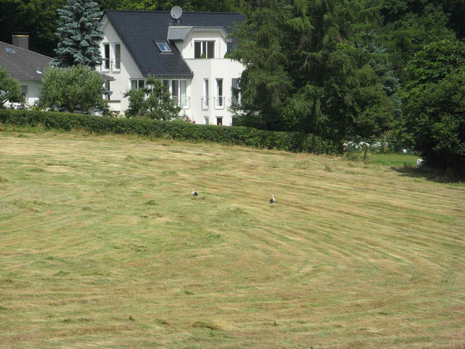 26.06.2008: Zwei rastende Störche in Hagen-Fley / Foto: Sallermann