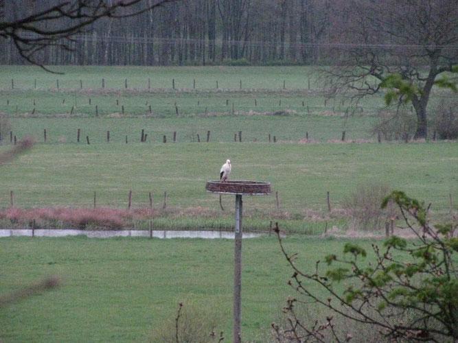 09.04.2012: Storch auf unserer Nisthilfe in Hagen / Foto: Sallermann