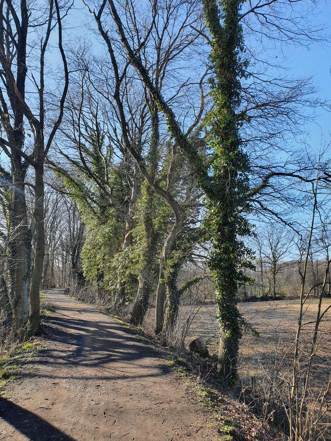 Bild 5 - Efeu hoch im Baum