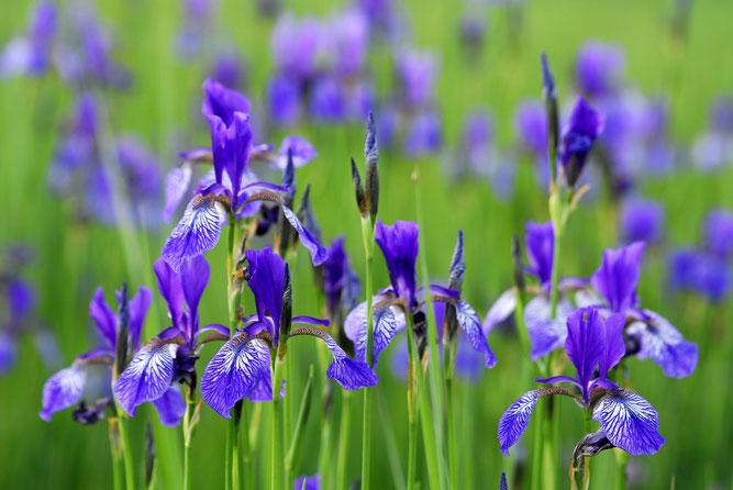 Blüten der Sibirischen Schwertlilie