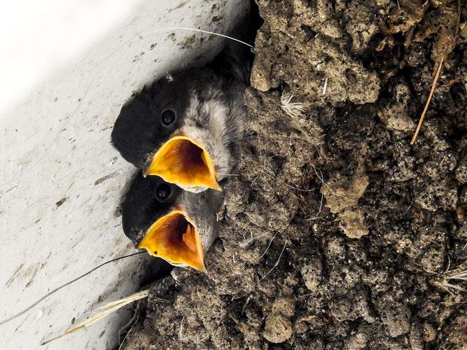 Wer Schwalben am Haus hat, den verlässt das Glück nicht - hier Mehlschwalben - Foto: NABU/K. Büscher
