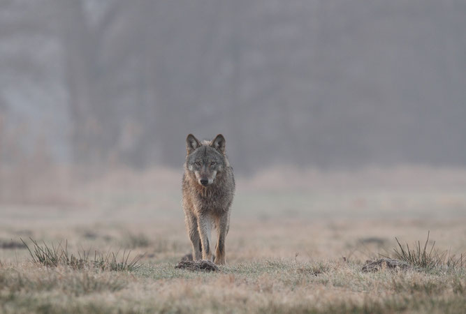 Jungwölfin  (Foto: Michael Hamann/NABU)
