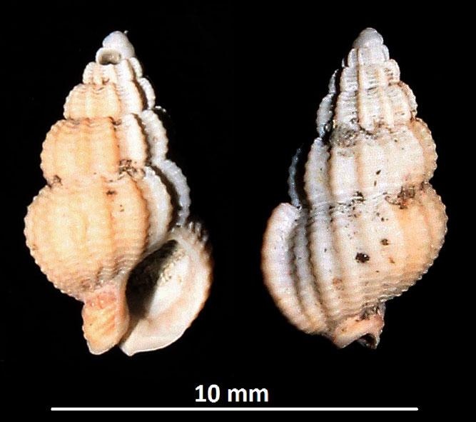 Nassarius serraticosta, Vignola (MO)