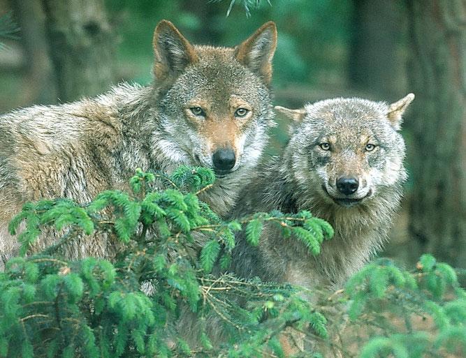 Wölfe im Wald, NABU/Steffen Zibolsky